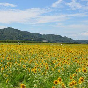 大阪でサプライズプロポーズ 笠岡湾干拓地の花