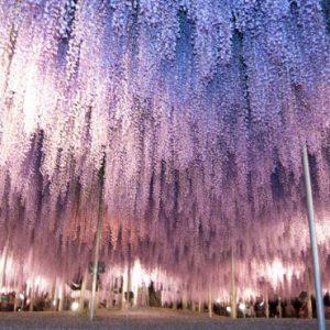 大阪でサプライズプロポーズ あしかがフラワーパーク