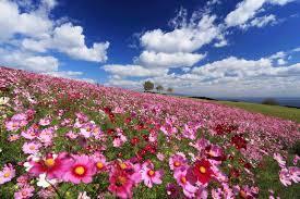 大阪gardenのサプライズプロポーズ あわじ花さじき 四季折々の花に囲まれる