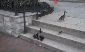 必死に階段を上る子鴨