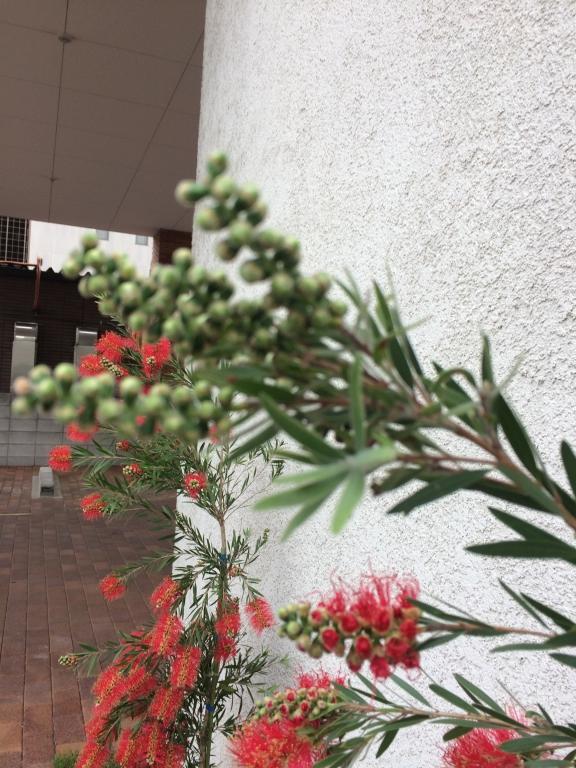 ブラシの木2