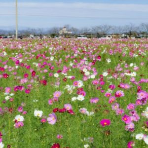 大阪gardenのサプライズプロポーズ 野田町コスモス畑