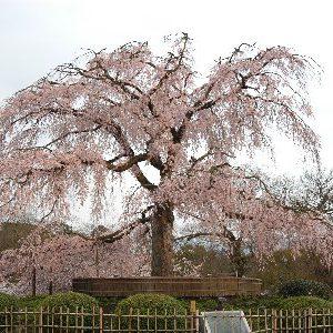 大阪gardenのサプライズプロポーズ 円山公園
